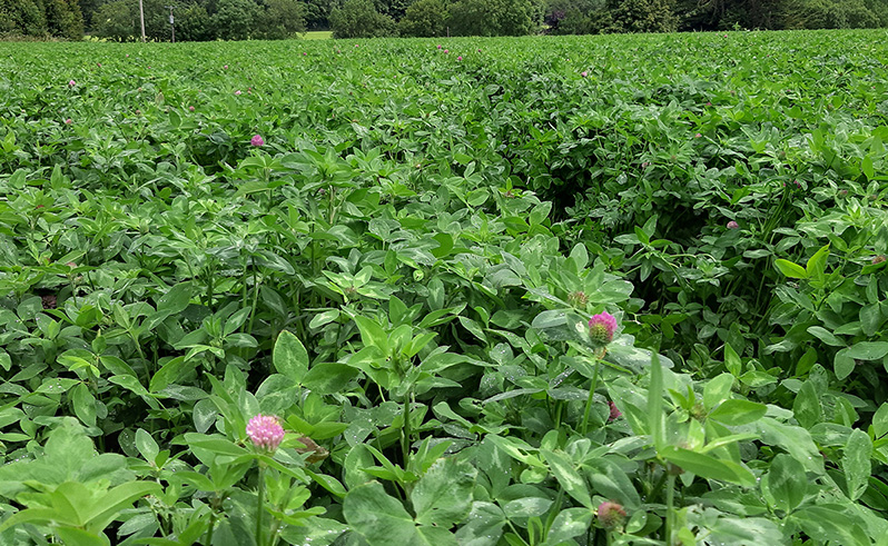 drummonds red clover web